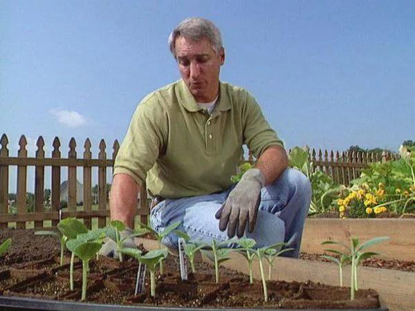 image4-2 | Как вырастить из семян рассаду кабачков и высадить в грунт