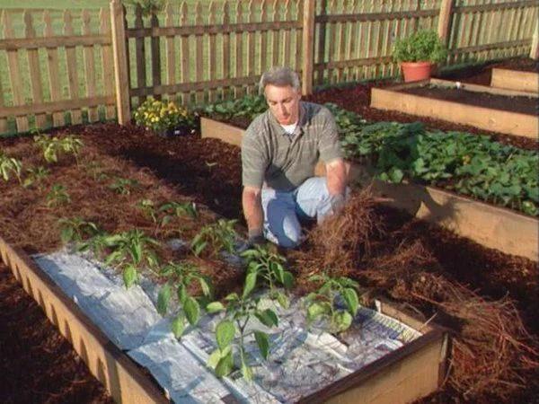 image4   Как посадить перцы, чтобы получить хороший урожай