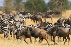 Witness the Great Migration over the Serengeti My African Bucket List