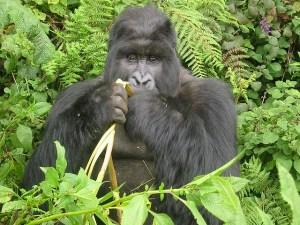 Go Gorilla Trekking in Bwindi National Park, Uganda My African Bucket List