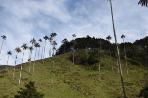 Wax Palms of Cocora