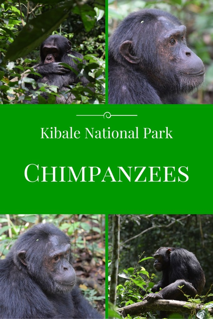 Trekking to see the Chimpanzees in Kibale National Park