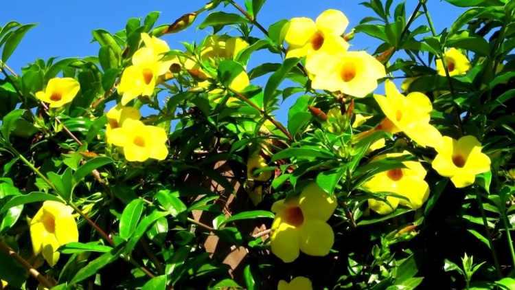 Gambar Bunga Alamanda
