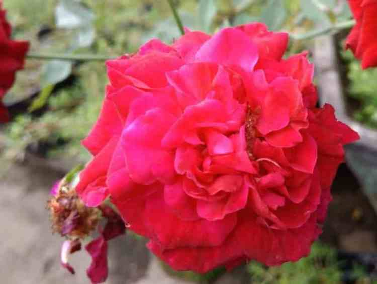 Gambar Bunga Buck Roses