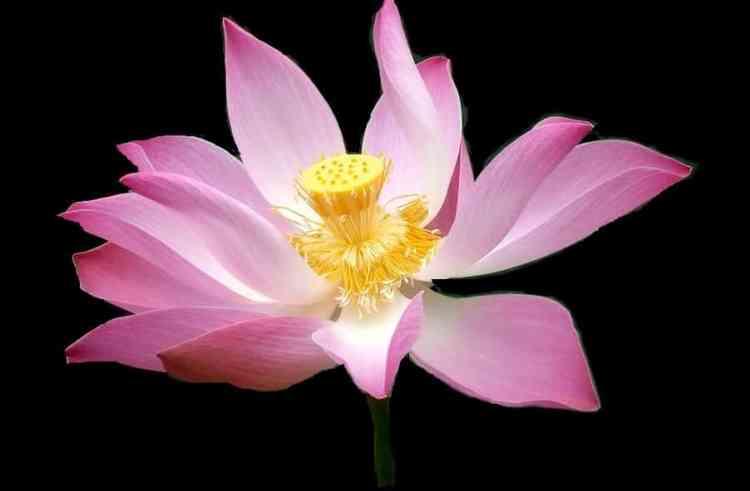 Gambar Bunga Seroja