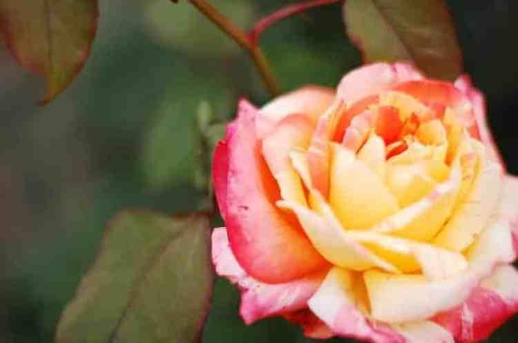 Gambar Bunga Tea Rose
