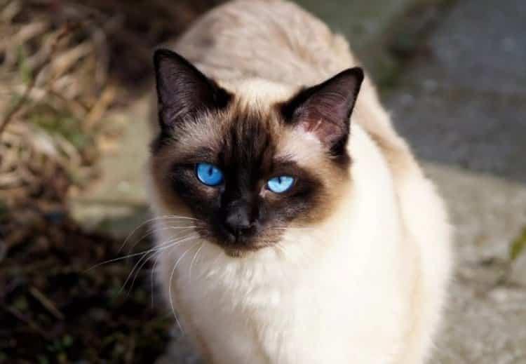 Jenis Kucing Siam