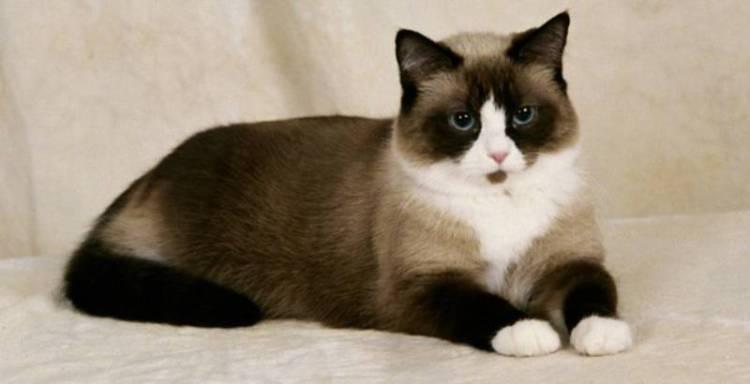 Jenis Kucing Snowshoe