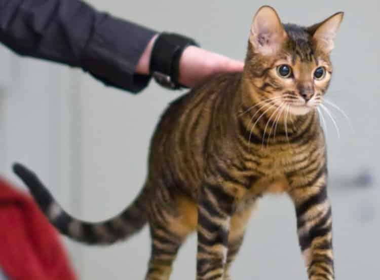 Jenis Kucing Toyger