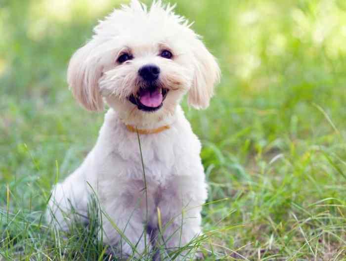 Harga Anjing Maltase