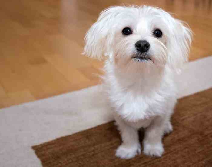 Karakteristik Anjing Maltase