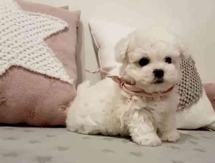 Perkawinan Anjing Maltase
