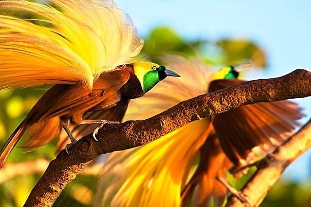 Perkawinan Burung Cenderawasih