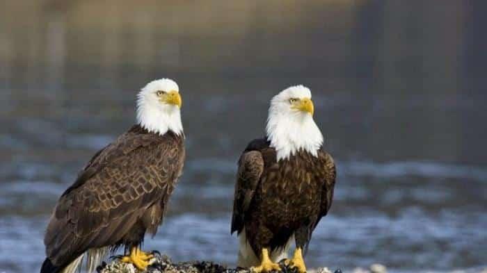 Cara Mengawinkan Burung Elang Supaya Berkembang Biak dengan Baik dan Cepat