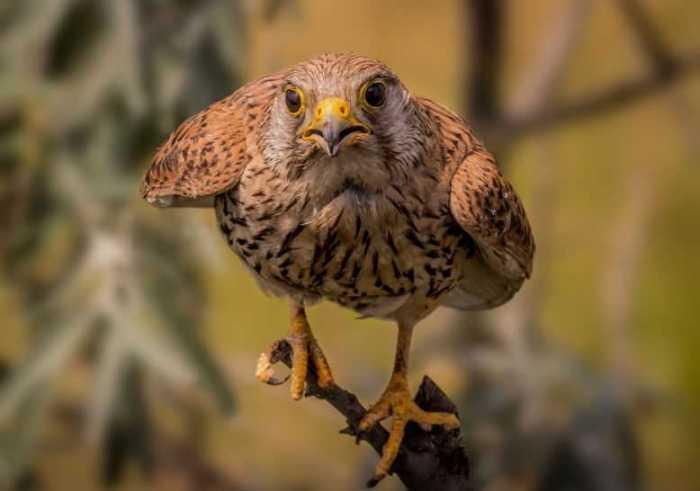 Cara Merawat Burung Elang yang Masih Anakan