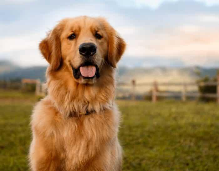 Cara dalam Merawat Anjing Golden Dewasa