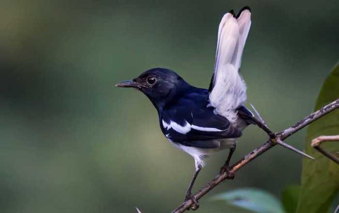 Faktor Apa Yang Membuat Burung Kacer Siap Untuk Dilombakan?