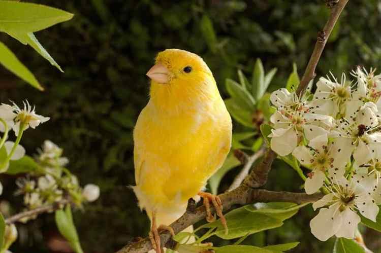 Kondisi Burung Kenari Yang Harus Anda Ketahui