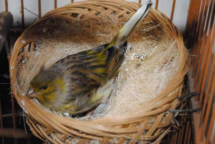Mengenali Umur Burung Kenari Yang Siap Ternak