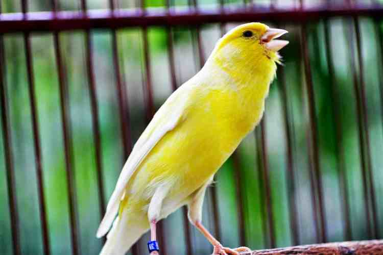 Merawat Burung Kenari