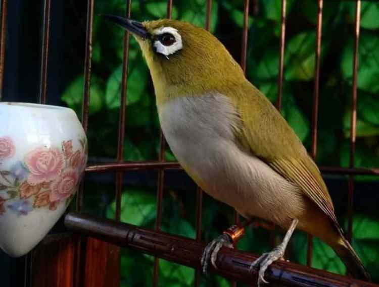Perawatan Untuk Kandang Burung Pleci yang Perlu Anda Tahu