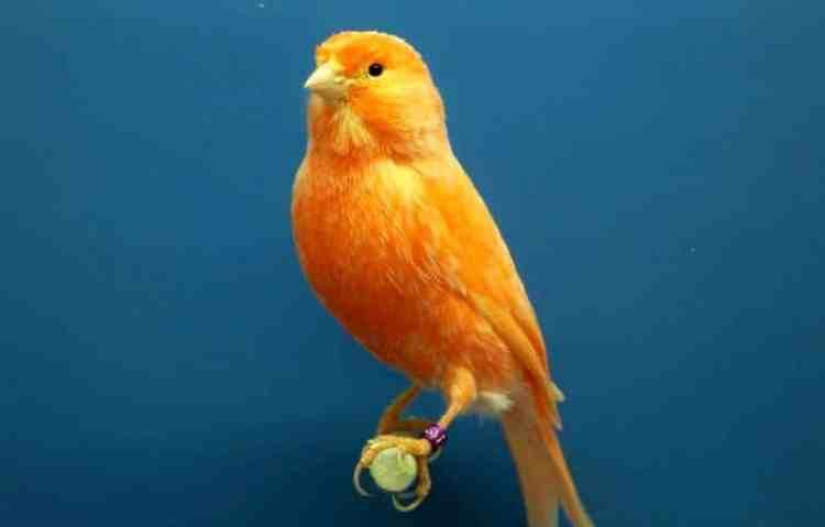 Rutinitas Burung Kenari