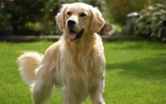Sebelum Memelihara Anjing Golden Harus Memperhatikan Hal-hal Ini