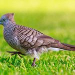 Sejarah Burung Perkutut