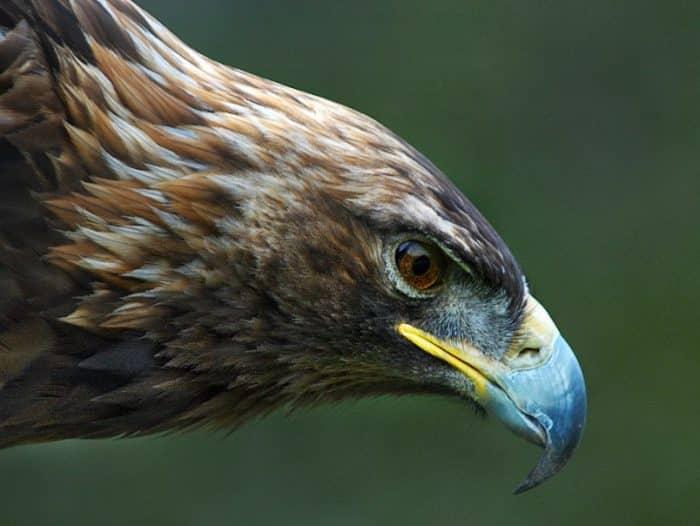 Spesies Burung Elang yang Terbaik di Dunia