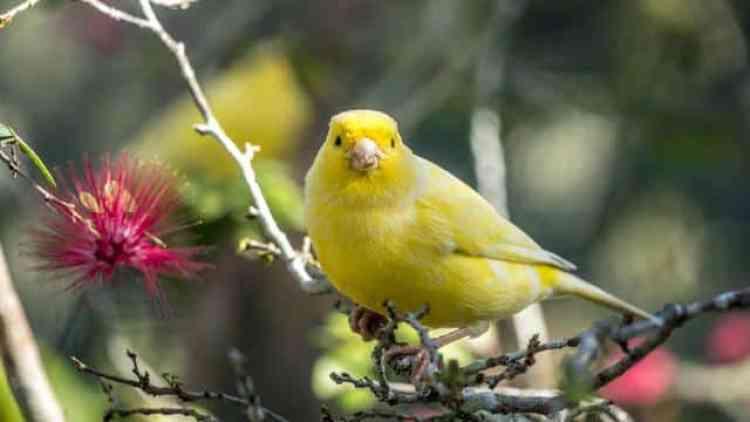 Suara Kicauan Burung Kenari Jantan Yang Memikat Hati