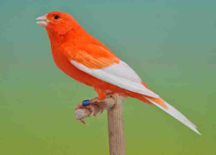 Tips Mengetahui Kesehatan Burung Kenari Kesayangan Anda