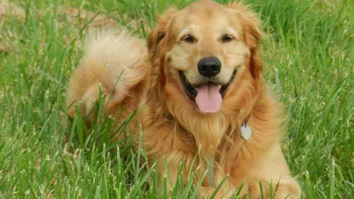 Tips Merawat Anjing Golden Anakan