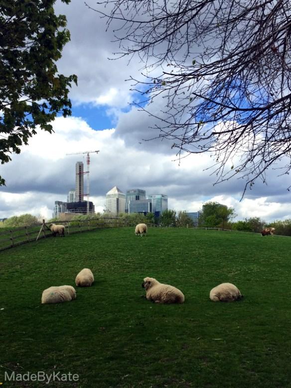 sheep mudchute farm