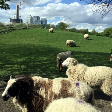 sheep mudchute farm park