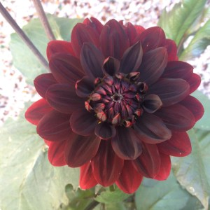 Chocolate dahlia - July 2, 2014