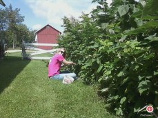 Picking an endless supply of raspberries.