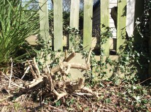Severely pruned