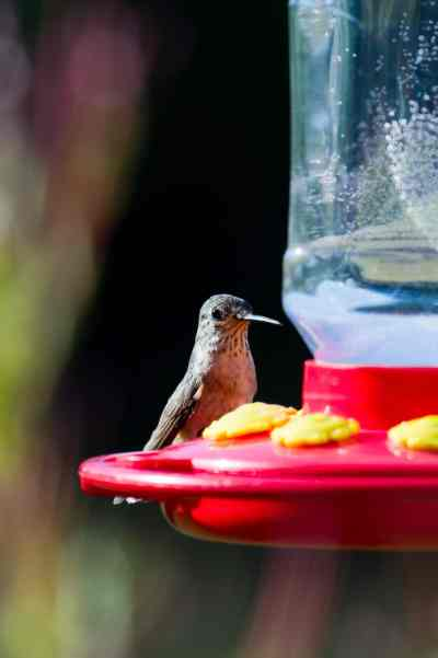 Make your own hummingbird food! It's easy, cheap and healthier for the birds. For the recipe and other helpful tips visit Made in a Pinch and follow us on Pinterest!