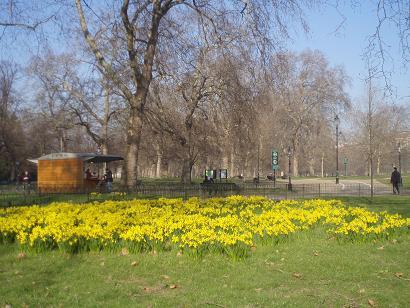 hydepark_daffodils.jpg