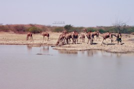 Camels move slowly towards the pond for their mid-day drink