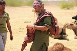 Collecting camel wool