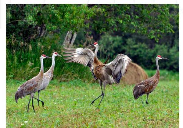 Horizontal Sandhill Cranes Photo Cutting Board