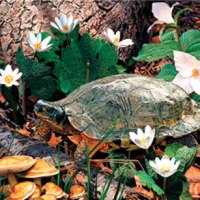 Forest Wood Turtle Giclee Print on Wrapped Canvas by Artist Russell Cobane