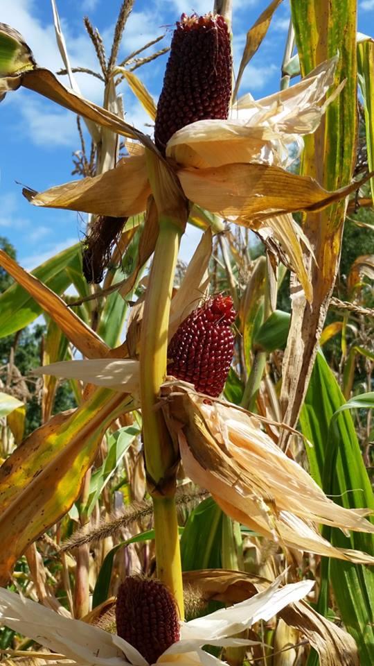 Strawberry Popcorn on Stalk in Husk