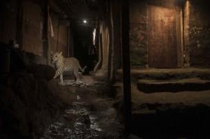 Nayan Kanolkar pour World Press Photo - Nature second prix - Bomaby, 24 septembre 2016. Un léopard sauvage dans le Parc national de Sanjay Gandhi