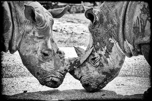 Rhinocéros, Parc Kilimandjaro, Tanzanie