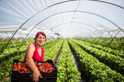 Photographie issue d'un photoreportage sur la production de fraises en Andalousie réalisé à Huelva par Jc Milhet (©2016)