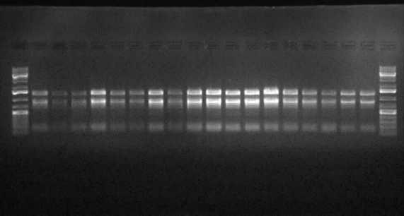 ADN d'Aribidopsis