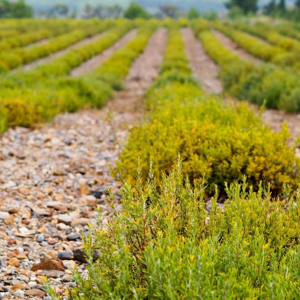 Agricole - Plantes Aromatiques Rivesaltes
