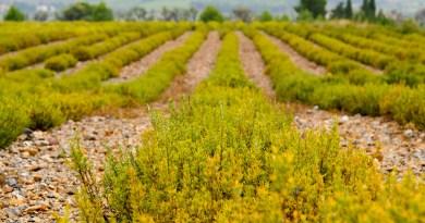 Thym, romarin et lavande, le nouvel El Dorado des viticulteurs catalans